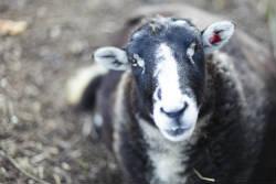 Rare Breed Sheep Photo